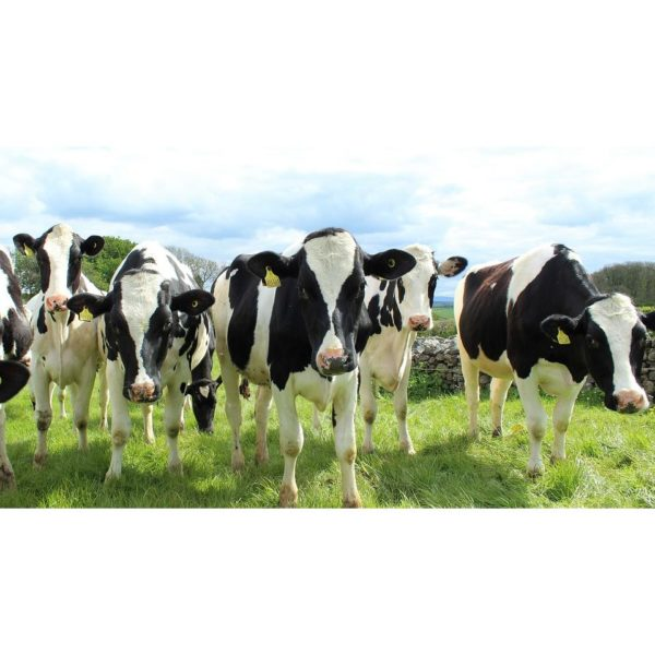 holstein-cattle-2318436_960_720