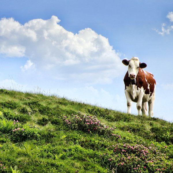 cow-3466106_1920